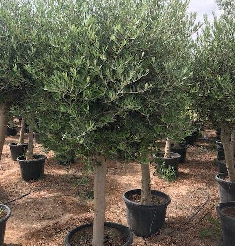Olive (Olea Europea) Care
